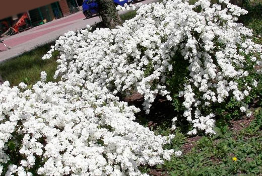 Невеста растение садовое