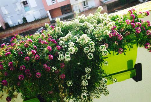 Фото летних балконных цветов
