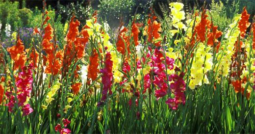 гладиолуса в саду