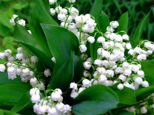 ландыш цветы