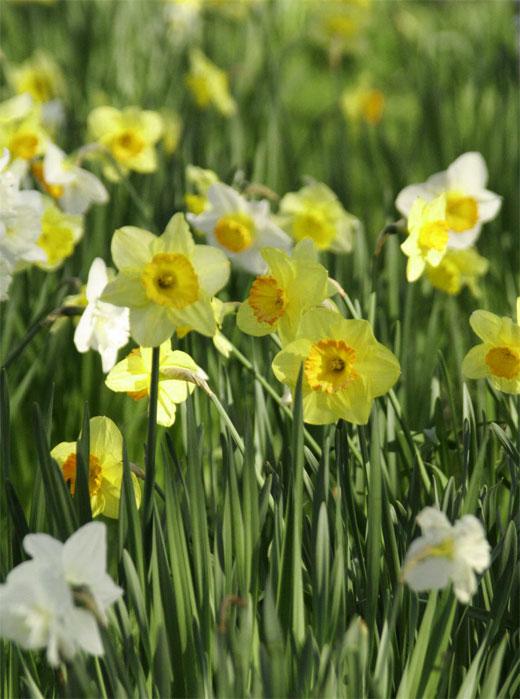 нарциссы цветы