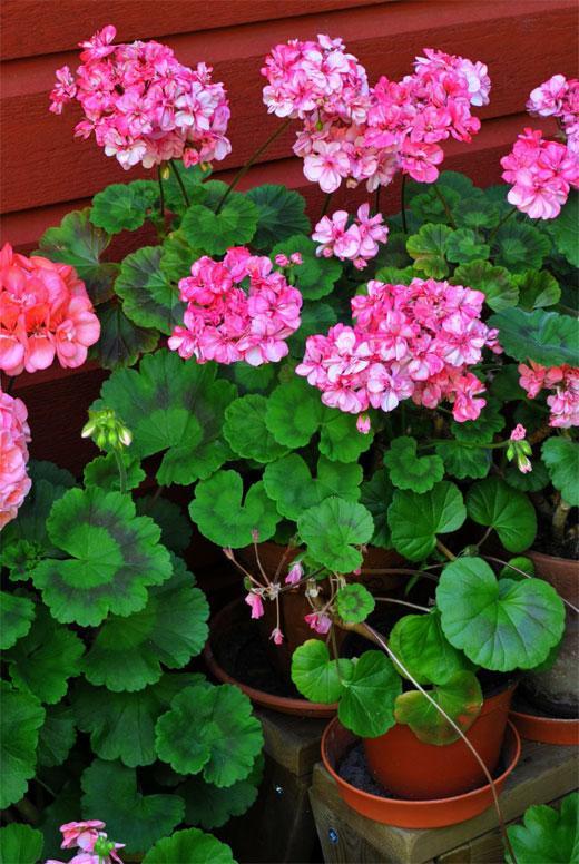 пеларгония розовая цветет