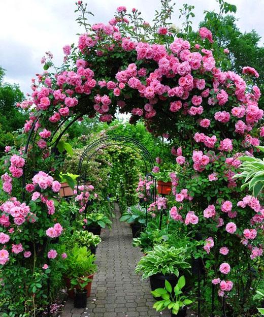 плетистая роза розовая