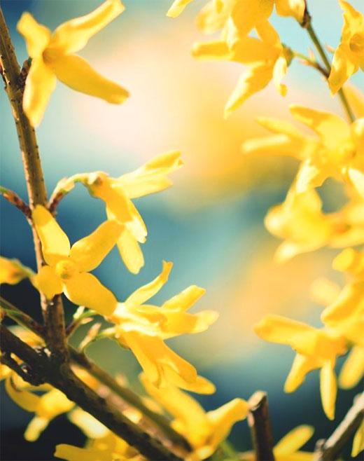 форзиция цвете
