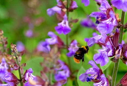 цветок шалфея
