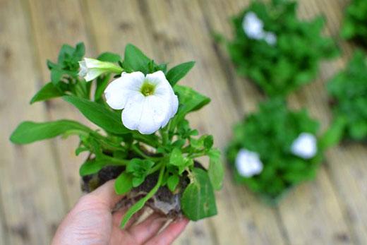 растения для подвесных клумб