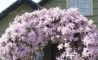 клематисы цветут