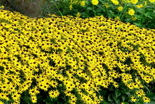рудбекия цветет