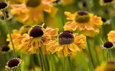 цветы циннии