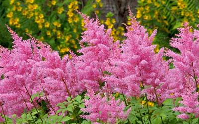 астильба цветы