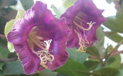 кобея цветы