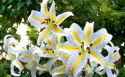 лилии цветение