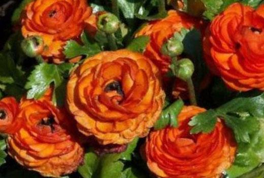 ранункулюс цветы