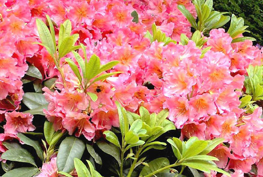 rododendron_1
