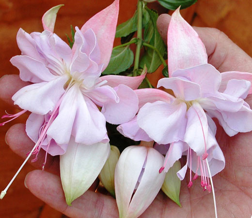 Бутоны и цветки фуксии
