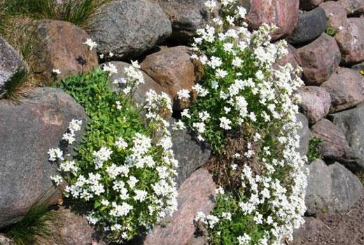 Растения альпийцы