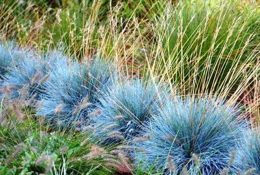 Овсяница голубая на альпийской горке