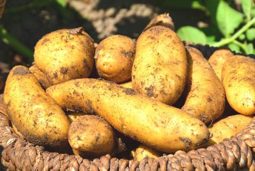 Картофель выращивание