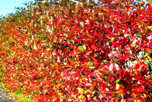Арония осенью