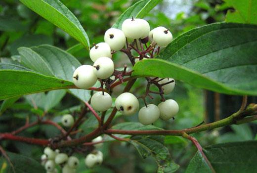 Белые плоды дерена