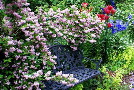 Розовые цветки дейции
