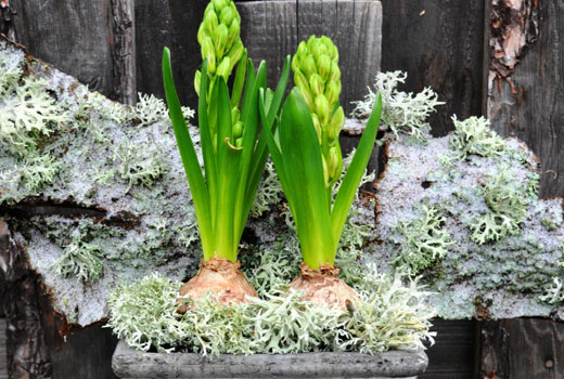 Гиацинты перед цветением