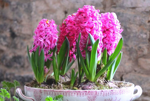 Гиацинты розового цвета