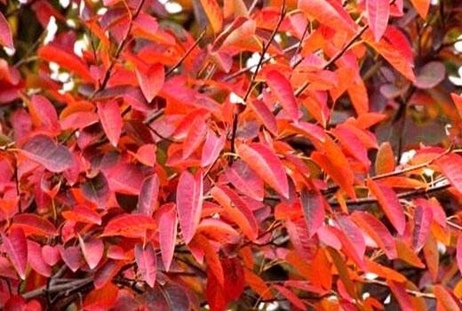 Сорт ирги с красными листьями
