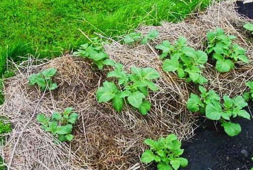 Картофель выращивание в соломе