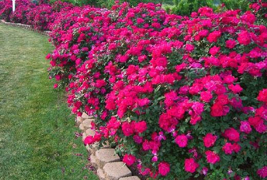 Клумба роз с бордюром из плитки
