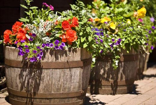 Цветы в бочках садовые
