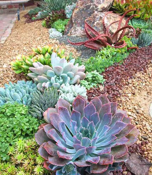 Садовые суккуленты
