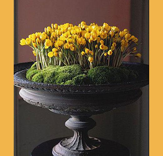 Крокусы желтого цвета