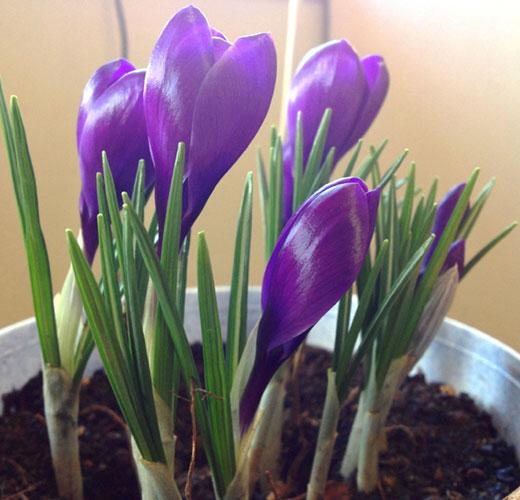 Скоро цветение крокусов