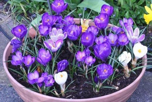 Крокусы белого и голубого цветов