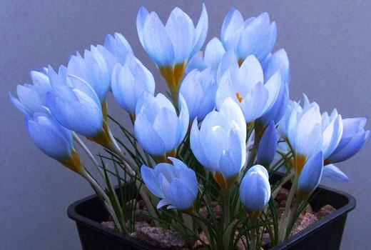 Светло-голубые крокусы
