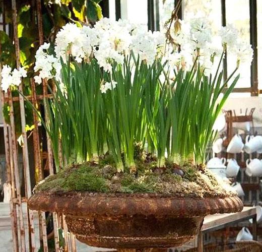 Луковичные в саду - нарциссы