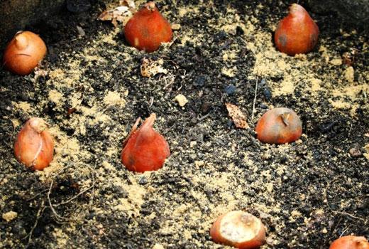 Мелкие луковицы цветов