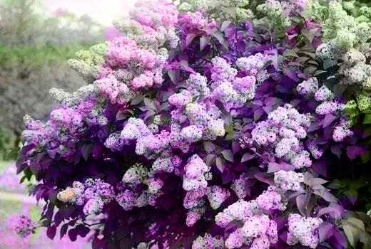 Сирень в цвету