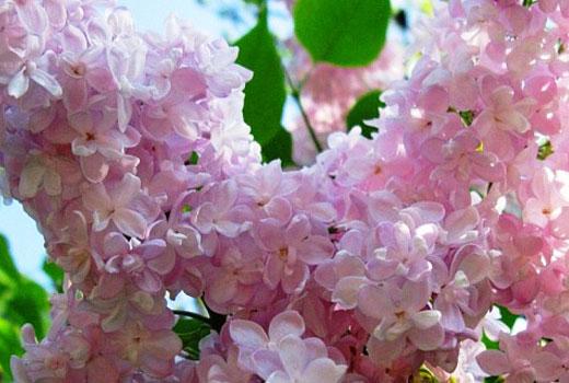 Розовая сирень
