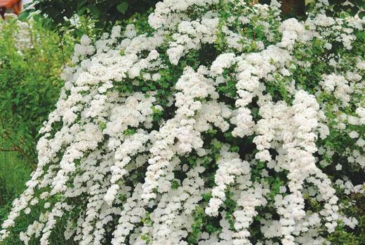 Спирея с белыми цветками