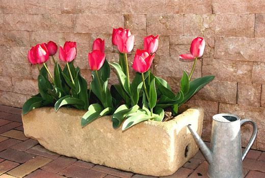 Тюльпаны садовые