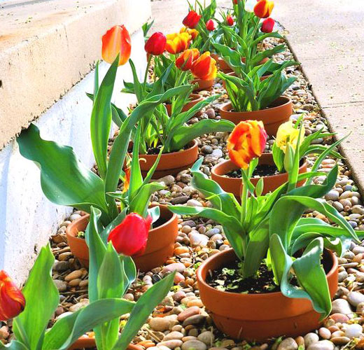 Миниатюрные тюльпаны в горшочках
