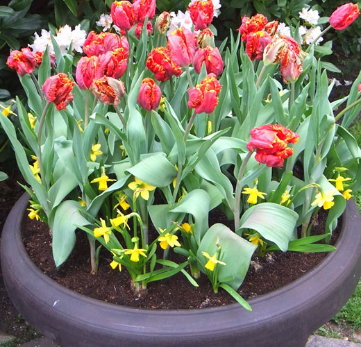 Тюльпаны выращивание в горшках на улице 85