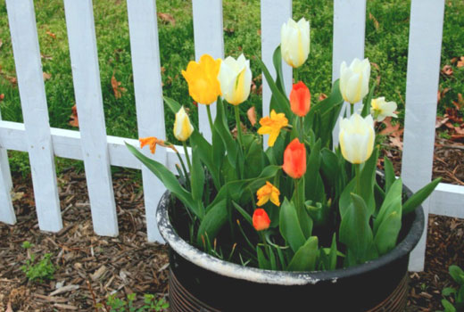 Маленькая клумбочка из тюльпанов