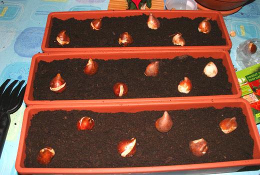 Посадка луковиц цветов в ящики