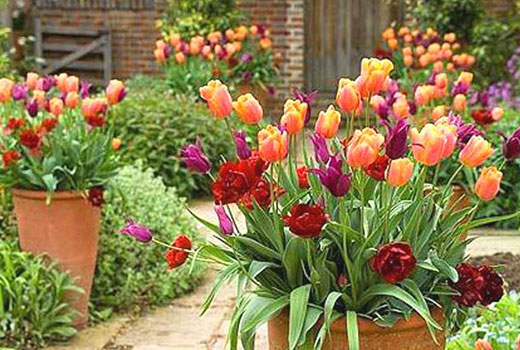 Тюльпановые горшочки