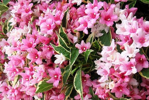 Розовая вейгела