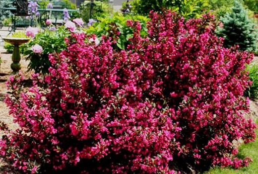 Вейгела с темно-красными цветками
