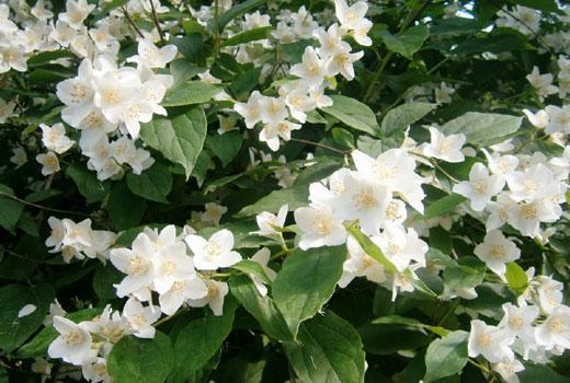 Чубушник - садовый жасмин